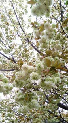 園里黄桜1.jpg